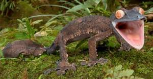 satanic-leaf-tailed-gecko-4